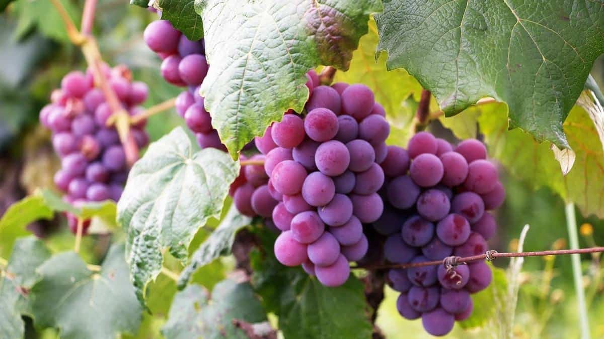 Purple grapes on the vine, an example of anti-inflammatory foods.