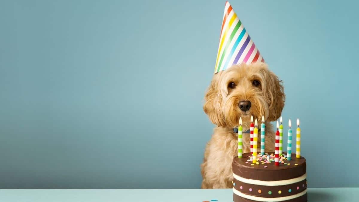 a fluffy brown dog sitting behind a birthday cake, an example of where someone may binge.